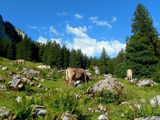 freilaufende Kühe auf einer grünen Weide in den Bergen mit blauem Himmel